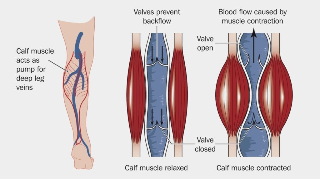 diagram showing blood flow in the calf